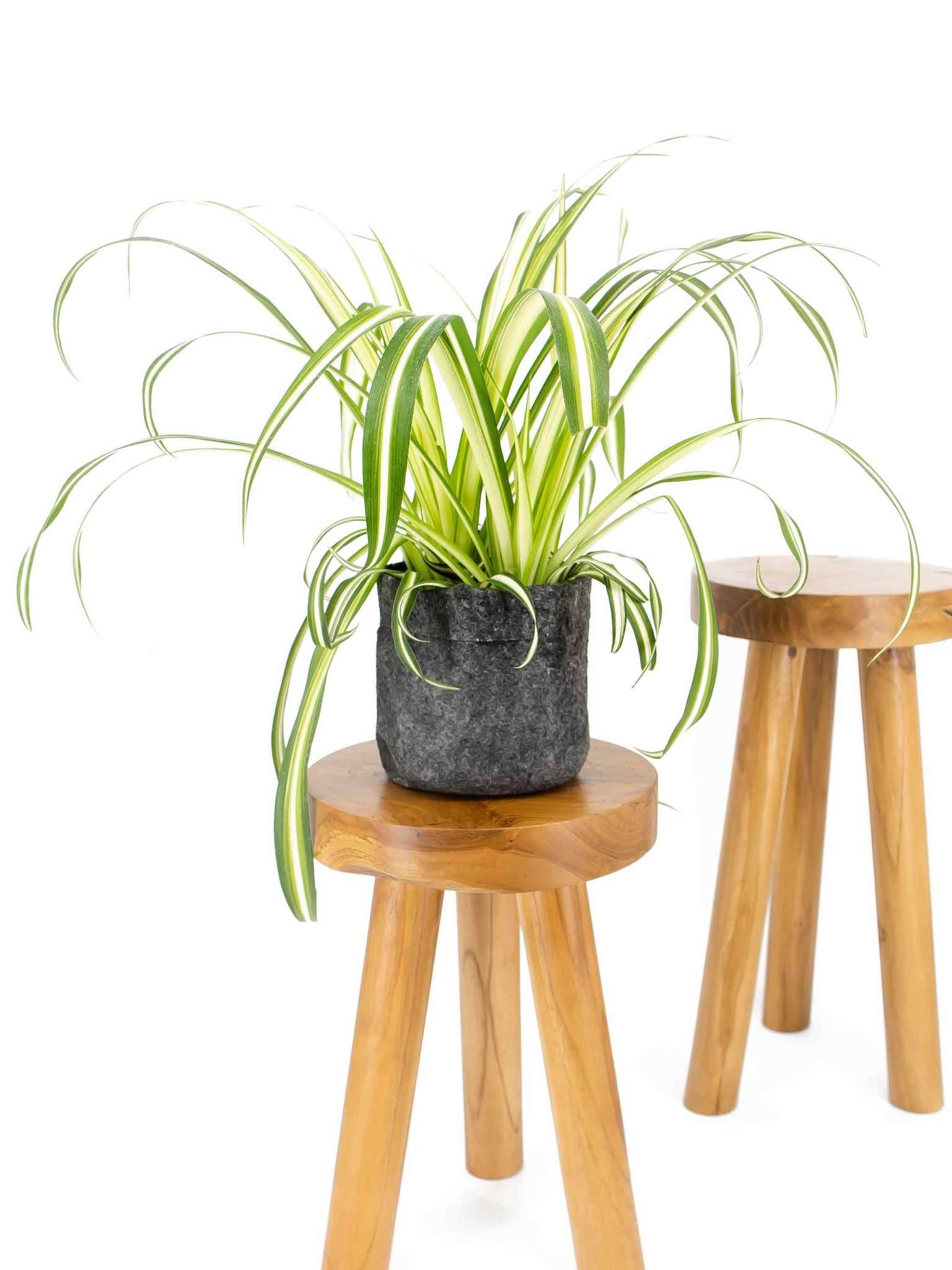 Spider plant on a wooden stool