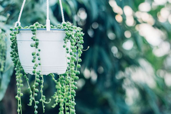 String of pearls plant in pot