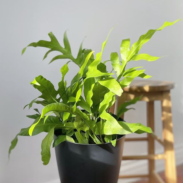 Wart fern in a black pot with a wood stool in the background