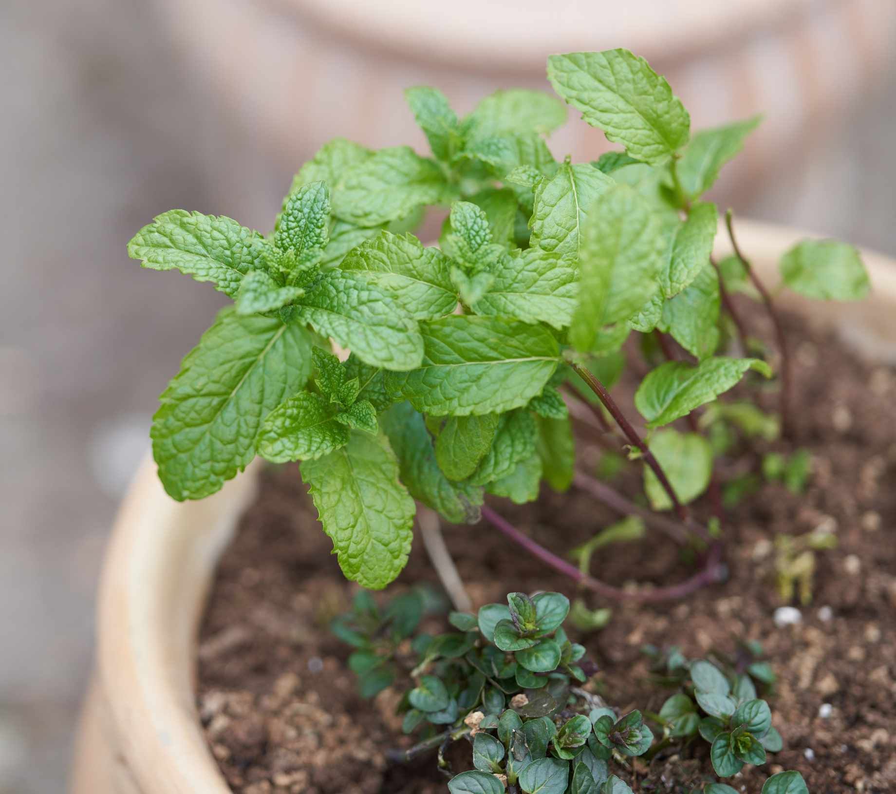 Chocolate mint plant growing in a pot