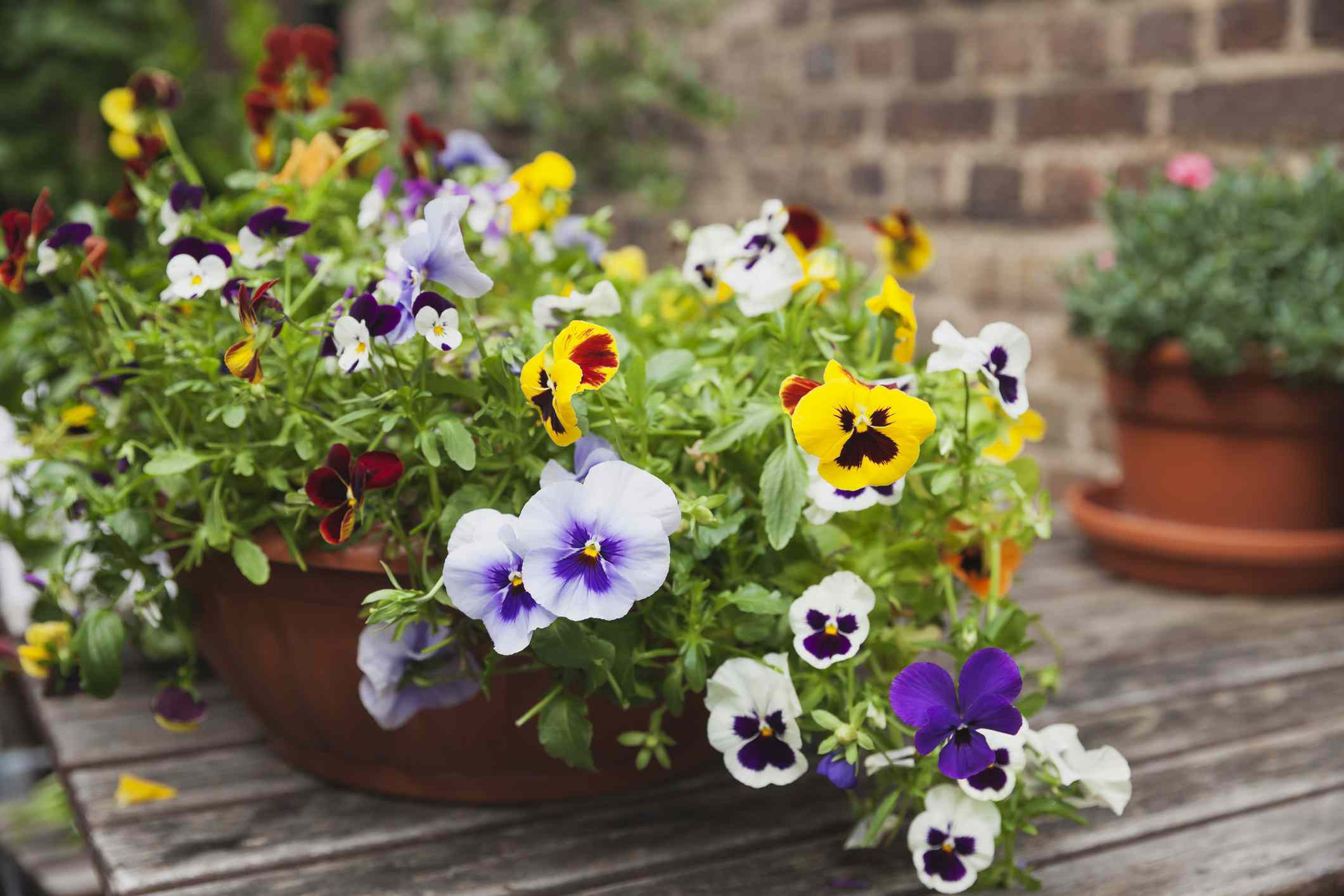 viola flowers in white, blue, purple, red, yellow, and brown growing in pot on wooden deck