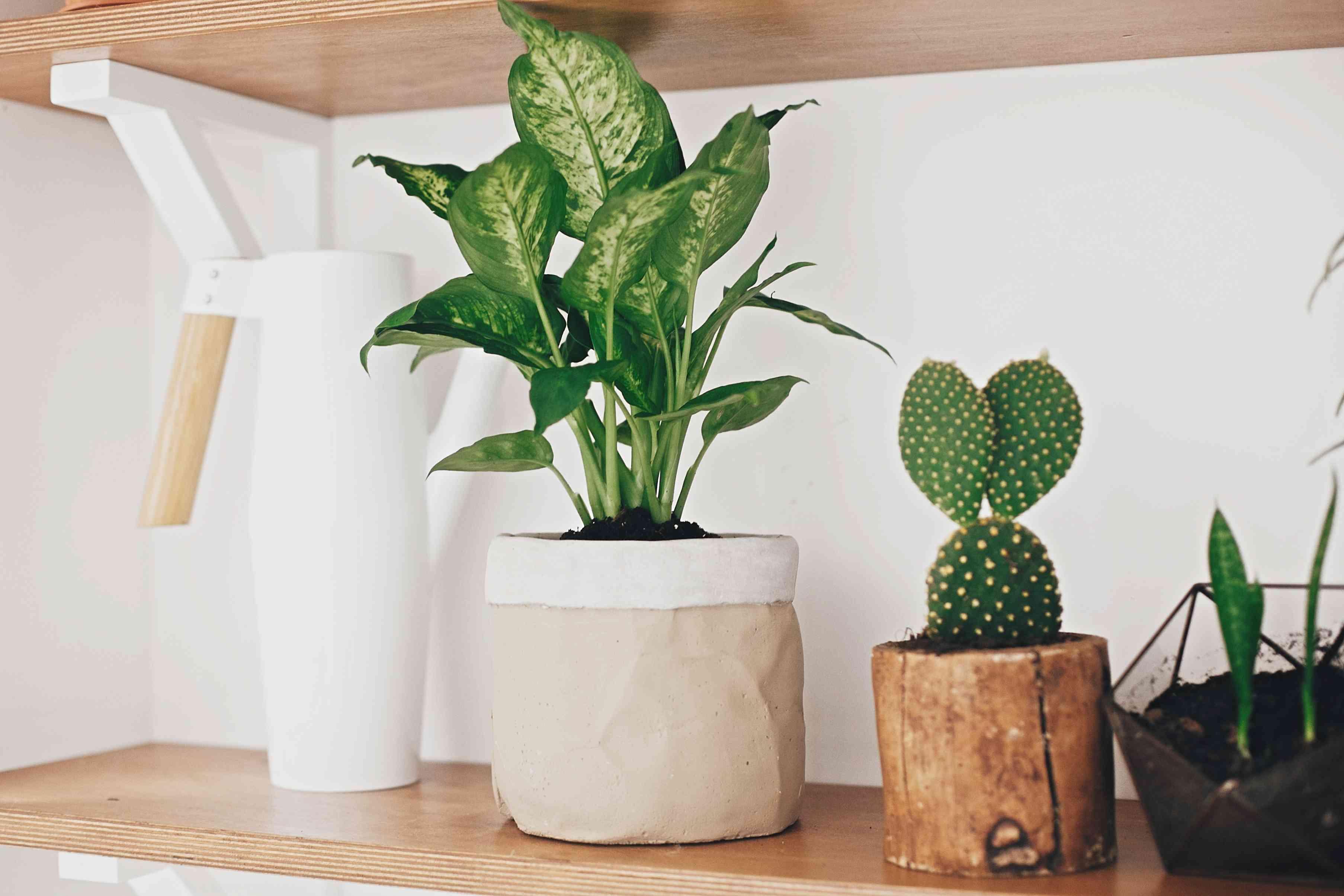 houseplants in wooden shelf against white wall