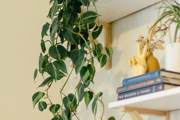 philodendron brasil trailing down high shelf with tchotchkes against white wall