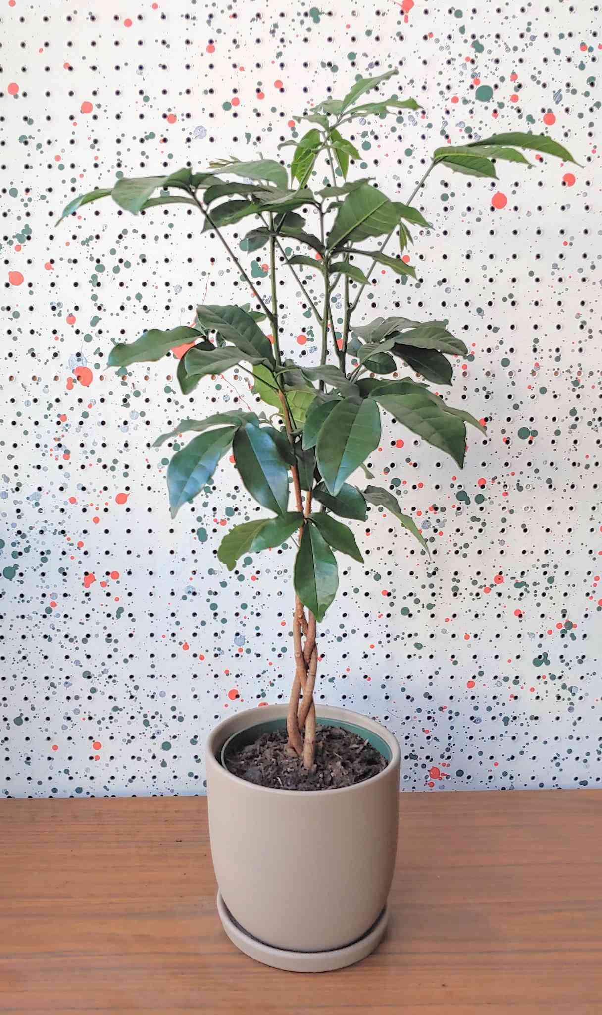 Natal mahogany bush in tan ceramic pot