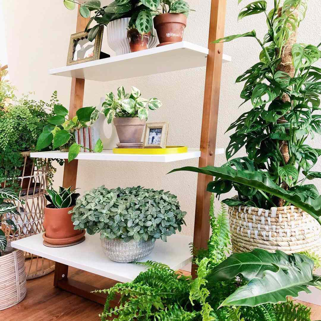 nerve plant and other houseplants on white and natural wood shelf in living room