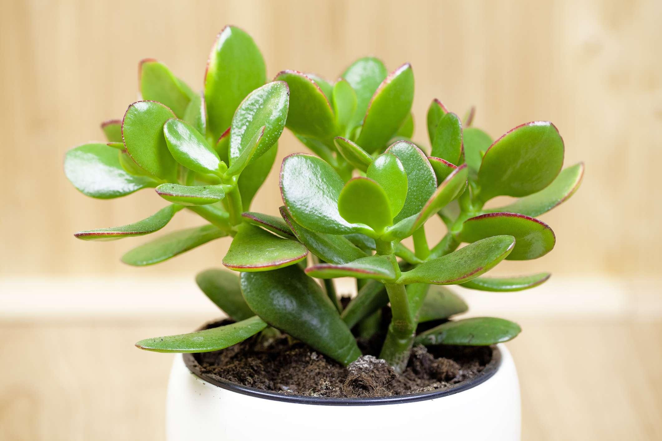 Jade plant, lucky plant, money plant or money tree, (Crassula ovata)