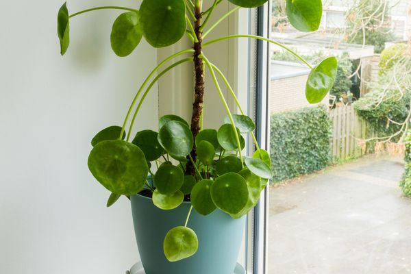 Pancake plant (Pilea peperomioides) growing indoors by sunny window
