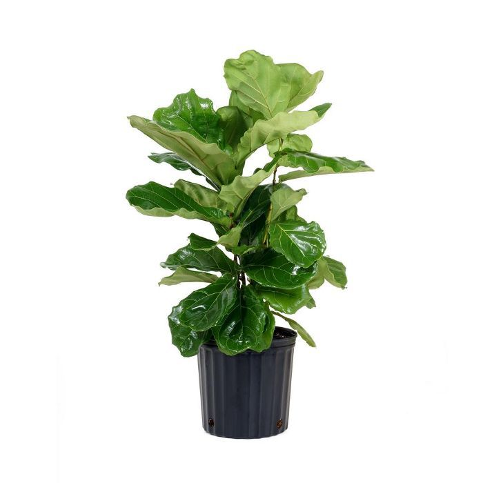Home Depot Ficus Lyrata Plant in Grower Pot