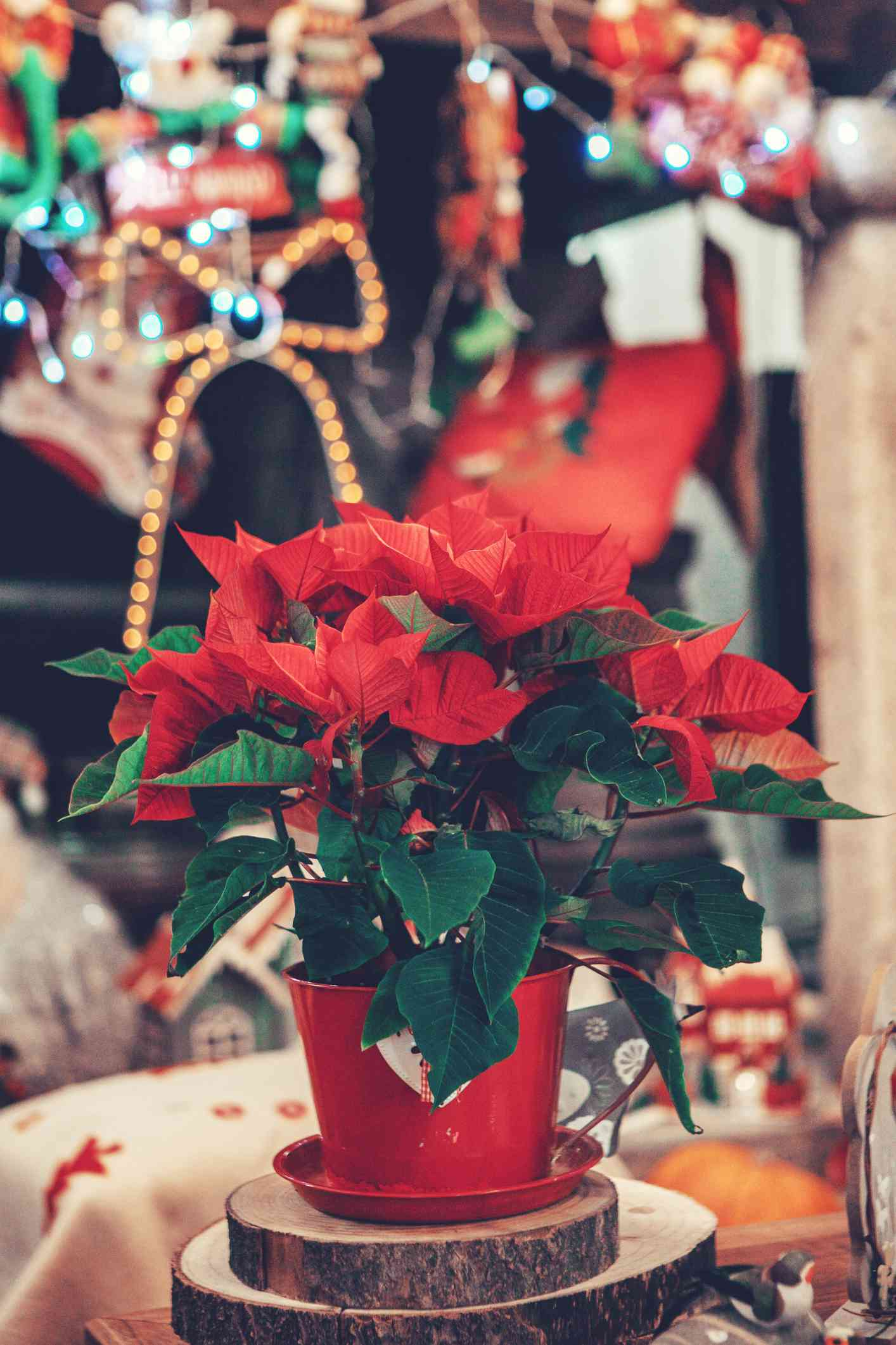 Red and green poinsettia plant in red pot