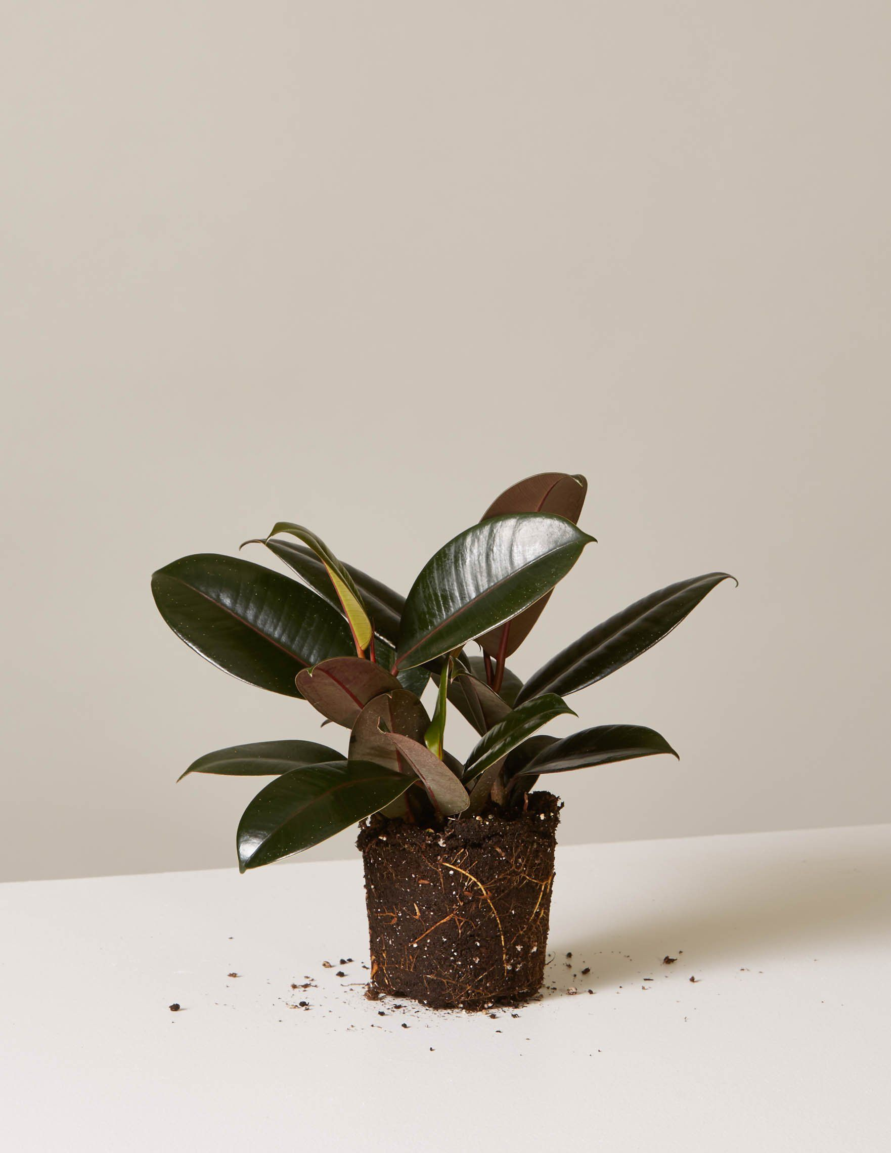 small rubber tree with bare roots