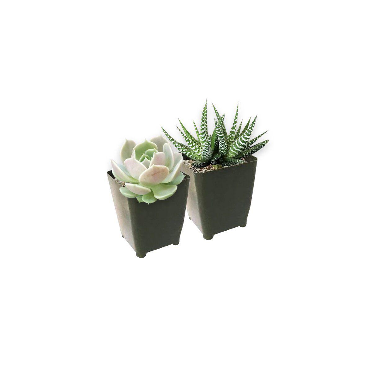 Succulents in grower's pots