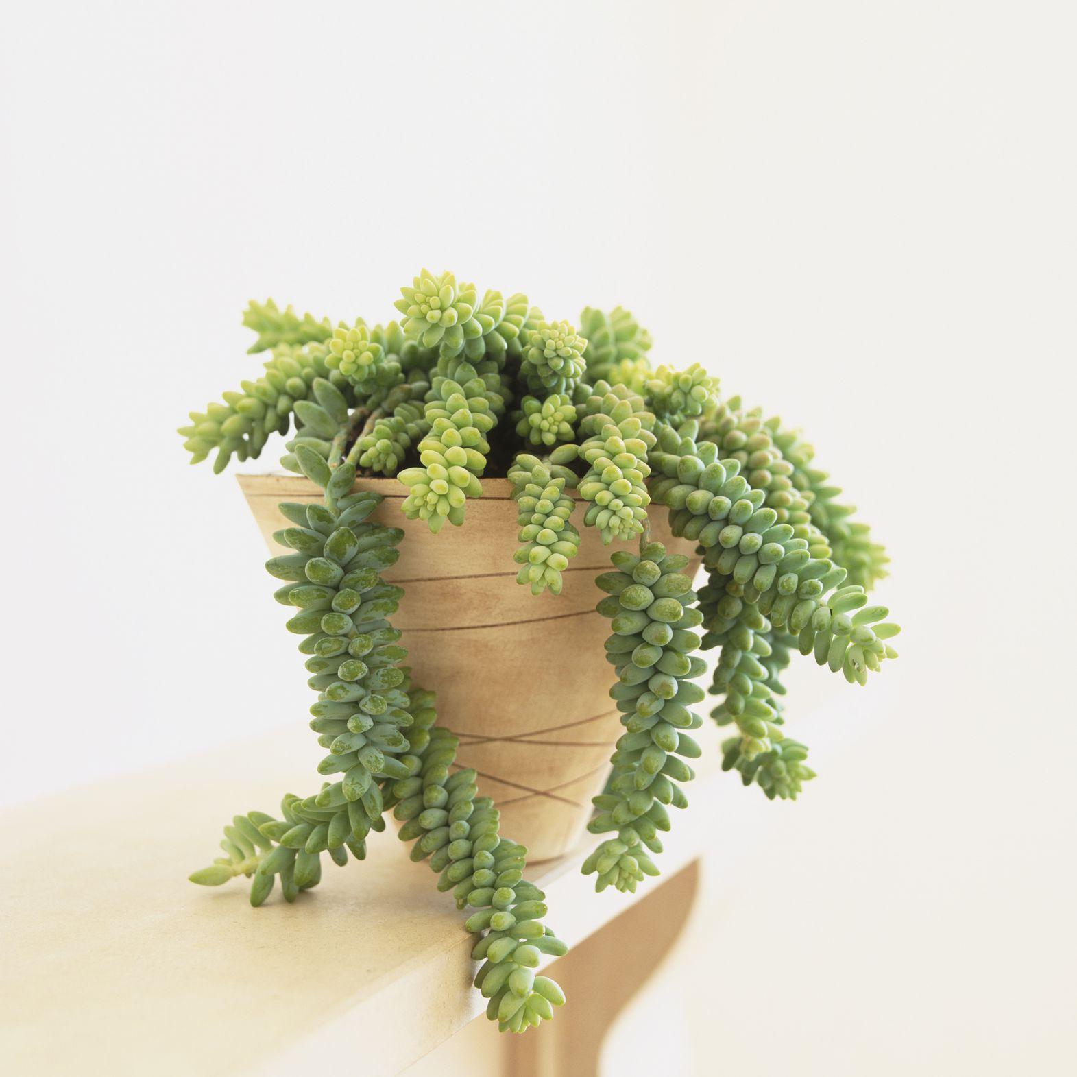 Sedum Morganianum (Burro's Tail)