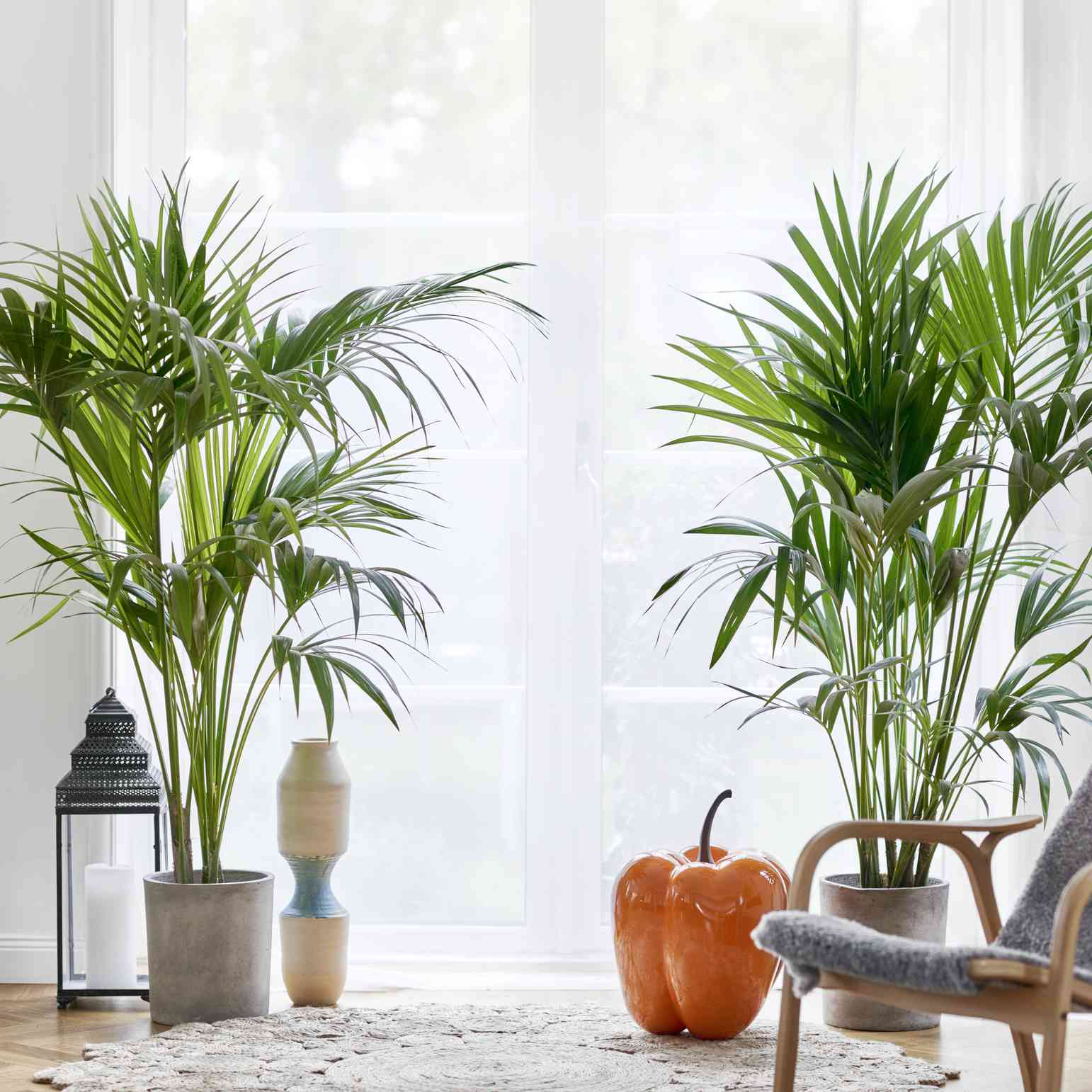 two potted parlor palms in front of a window