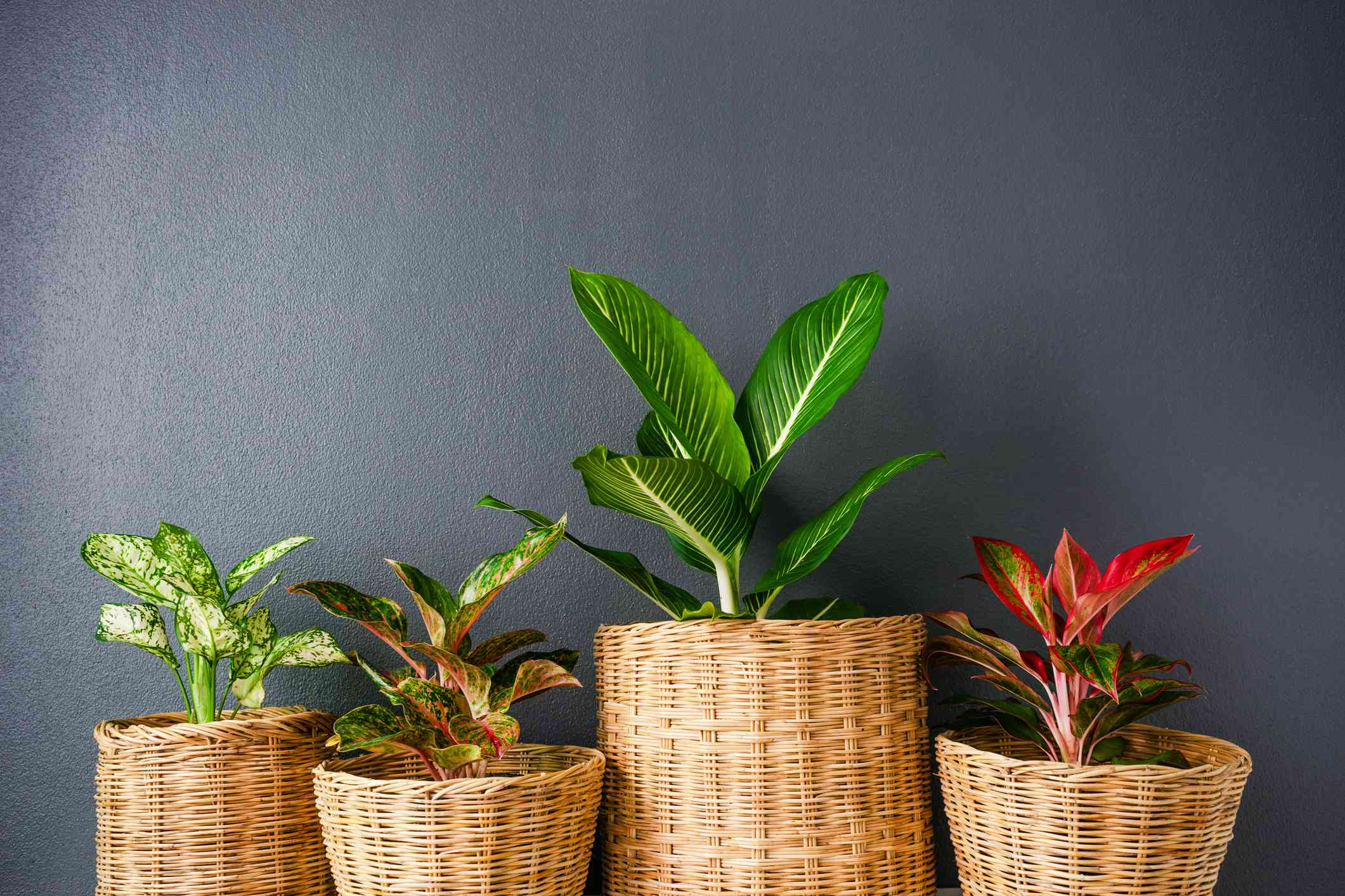 four chinese evergreen plants in wicker baskets against dark gray wall
