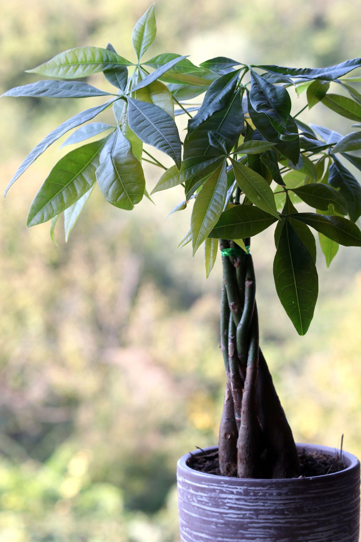 Money Tree Guiana Chestnut Care Growing Guide