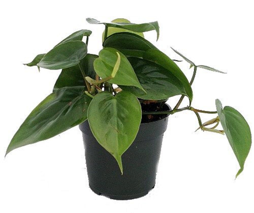 Heartleaf philodendron in grower's pot