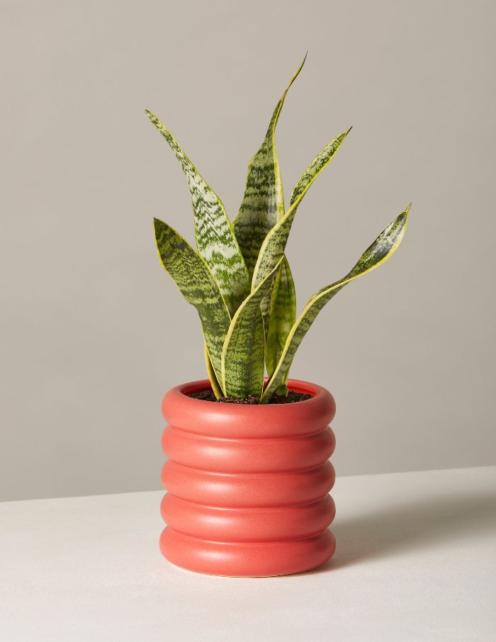 The Sill Snake Plant Laurentii In Small Dolores Planter