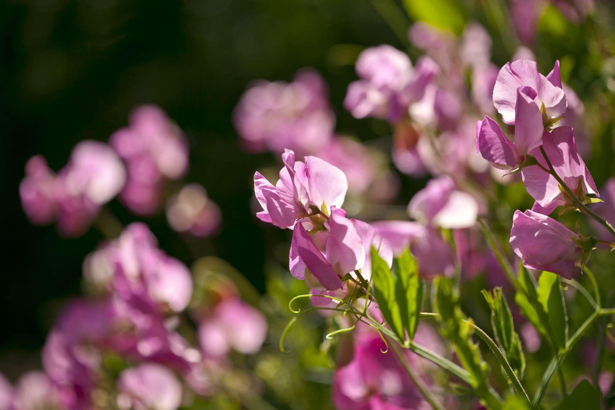 pink sweet pea flowers growing in sunny garden