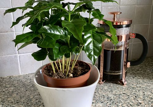 A coffee plant in orange and white pots