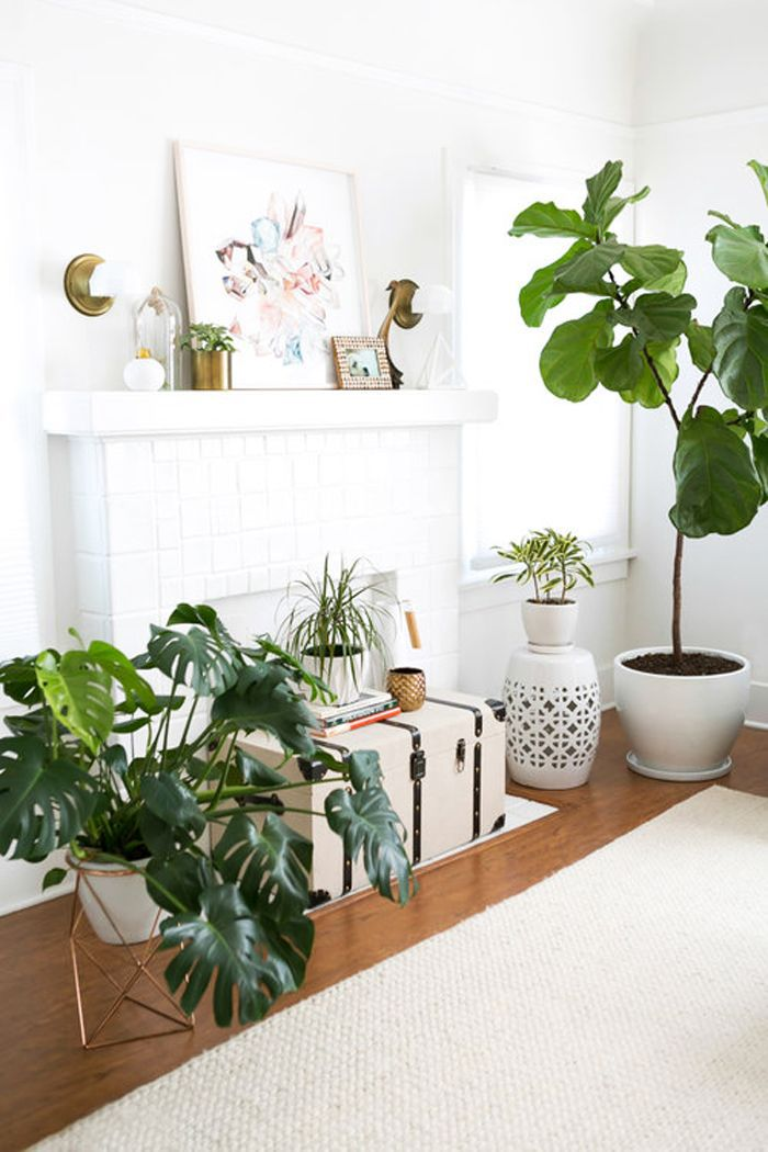 fiddle leaf fig and monstera in a bright, airy living space