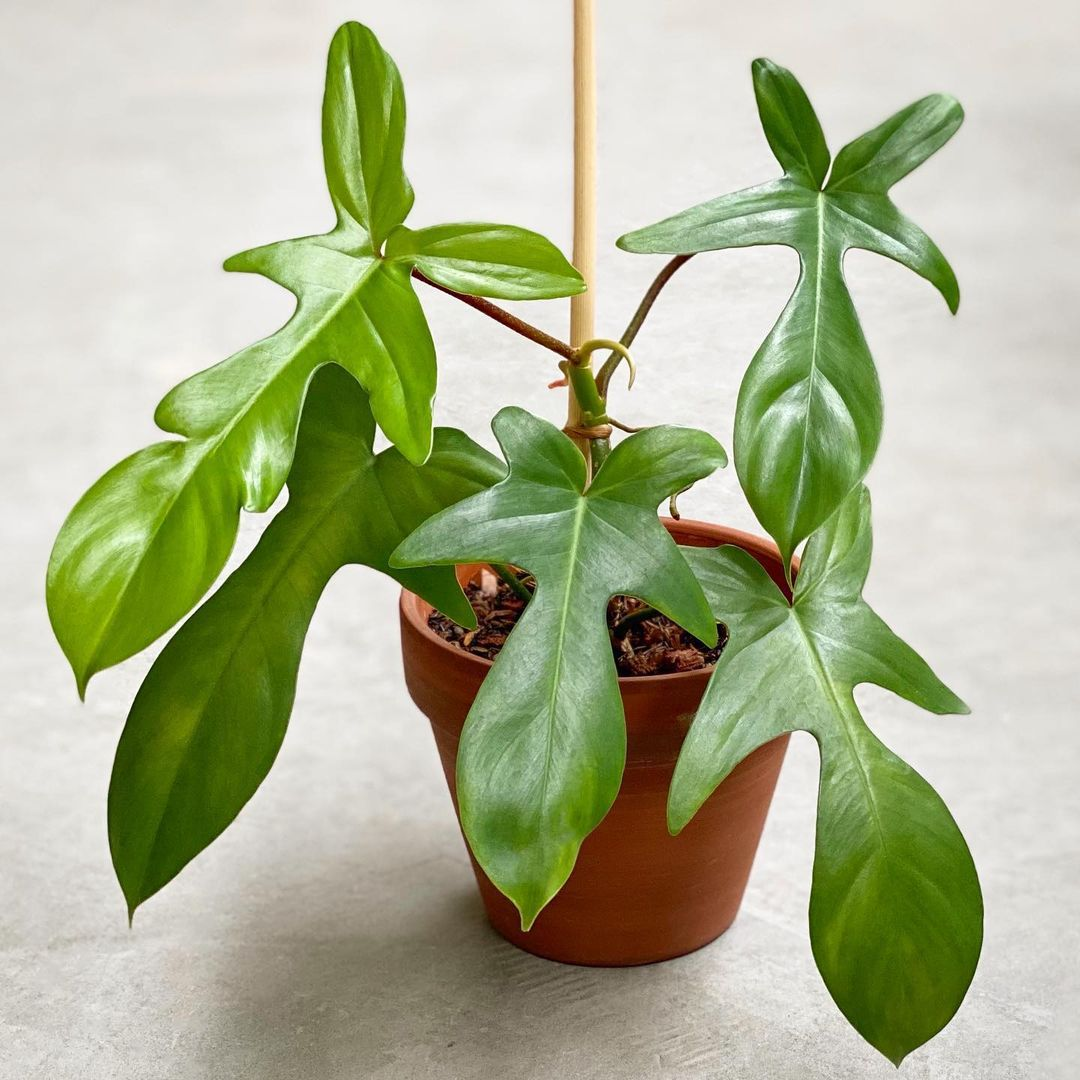 philodendron pedatum in small terra cotta pot with wooden stake
