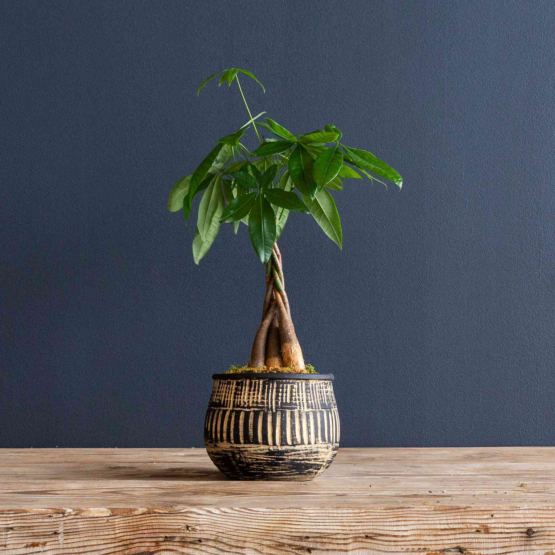 Money tree in a decorative pot against a blue wall