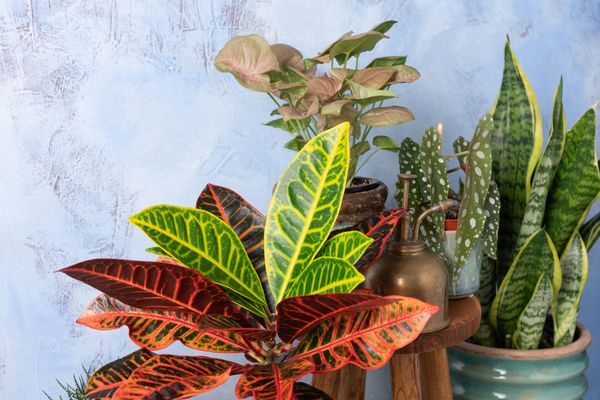 A variety of colorful croton plants in pots