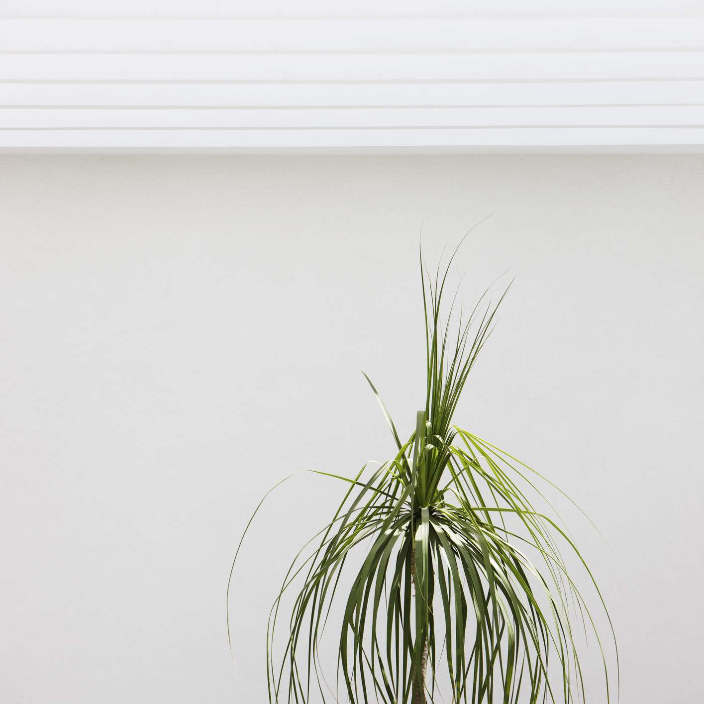 Top leaves of ponytail palm (Beaucarnea recurvata)