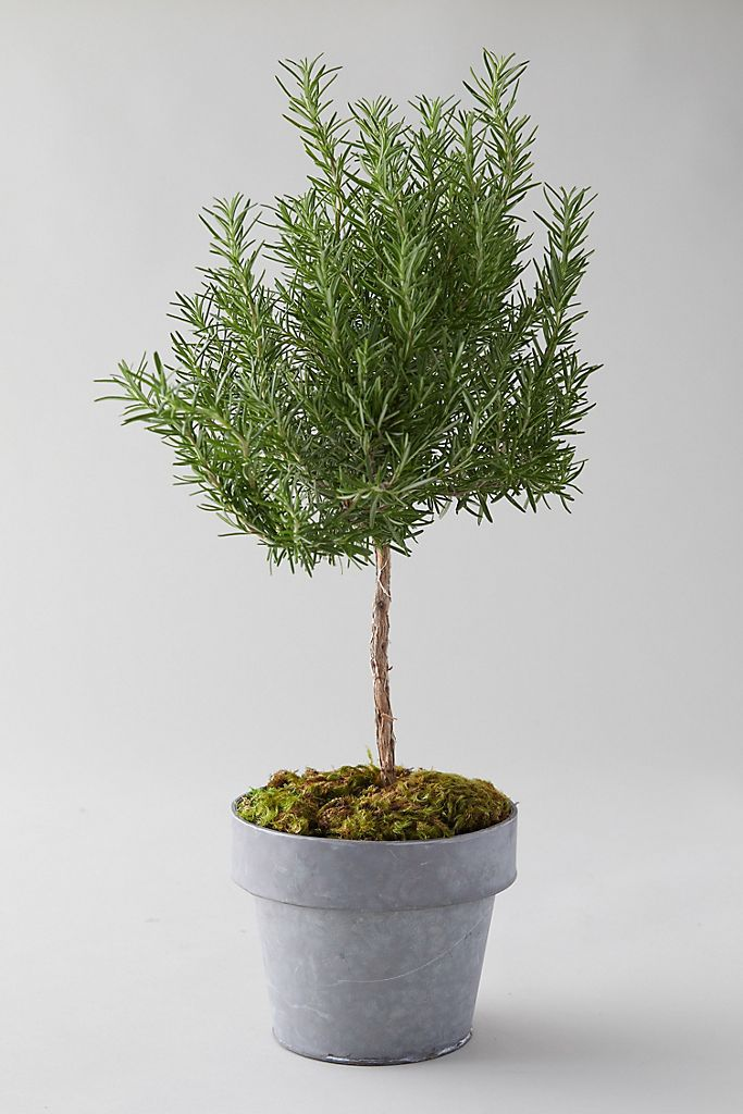 Anthropologie Rosemary Topiary, Olla de metal