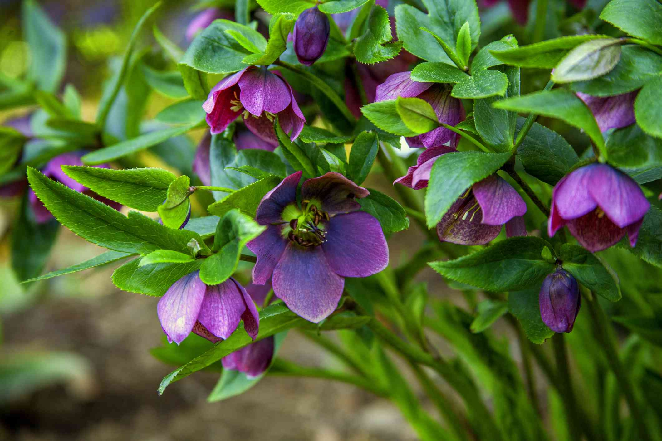 purple hellebore flowers with green stems and leaves