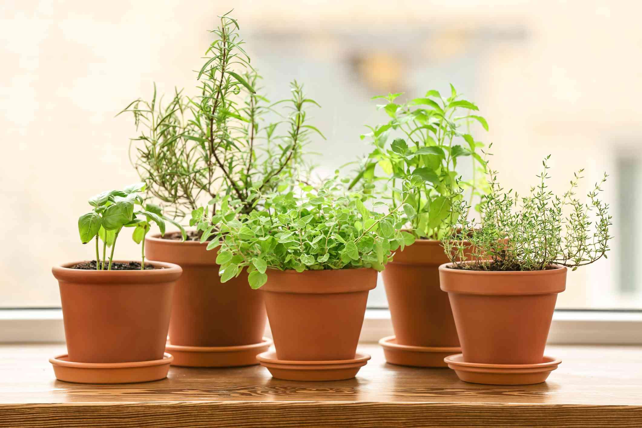 fresh herb plants in small terra cotta pots on sunny windowsill