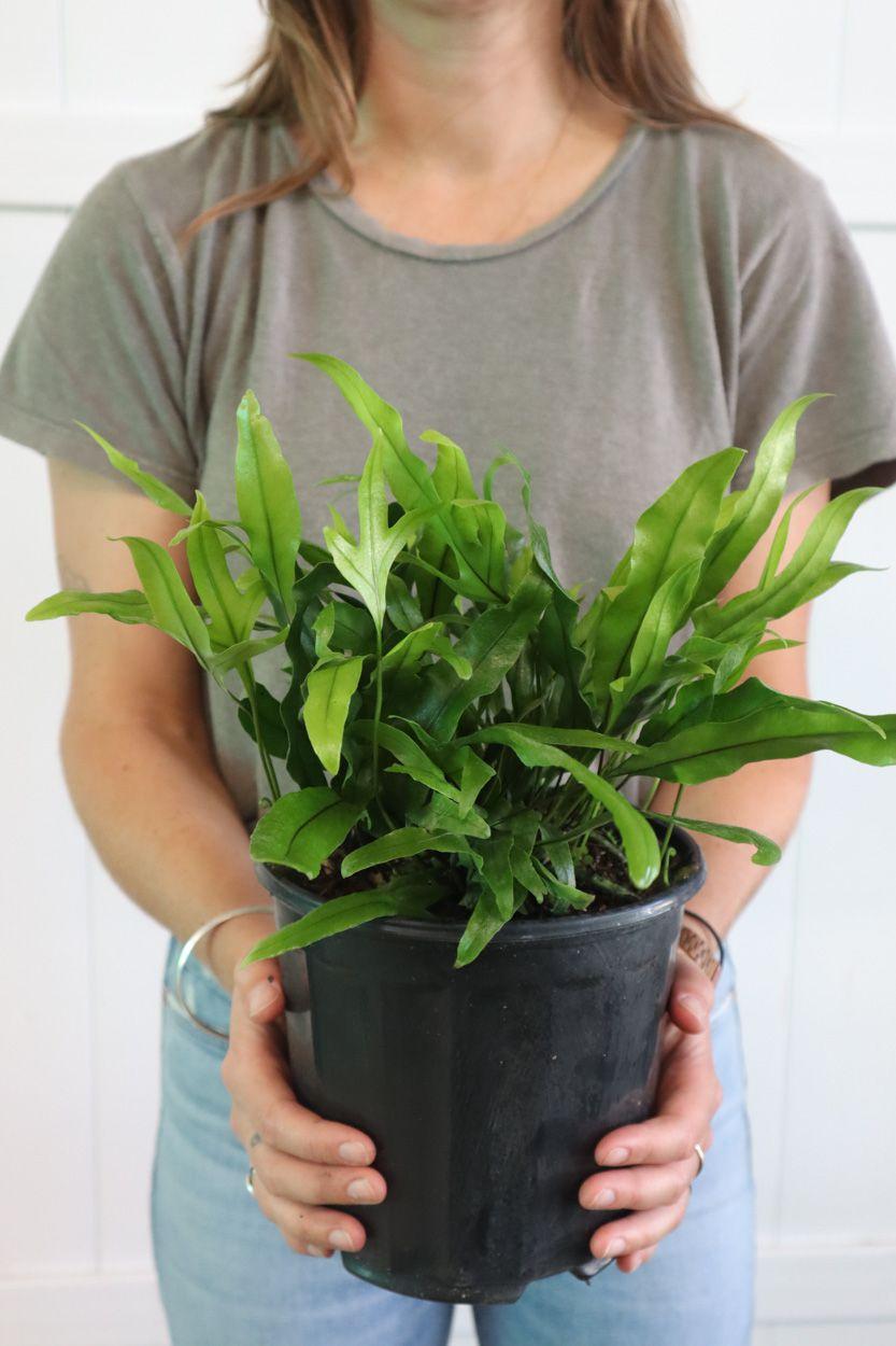 Wart fern in grower's pot held by a woman