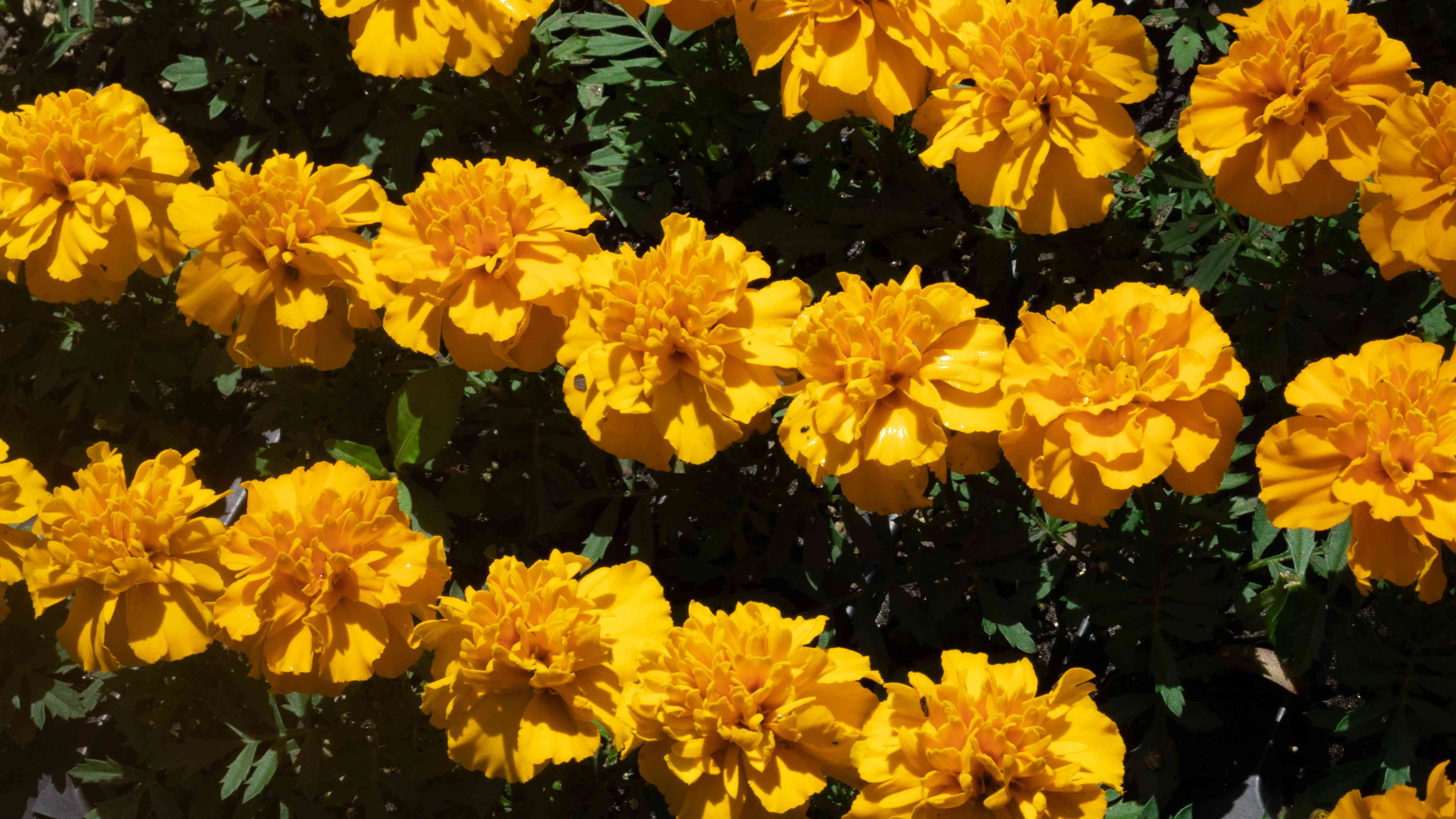 calendula birth month flower