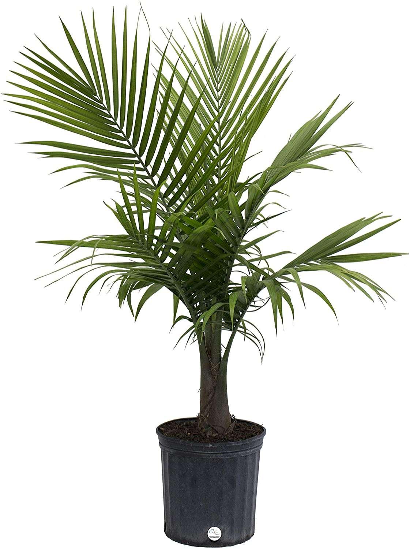 Majesty palm in grower's pot