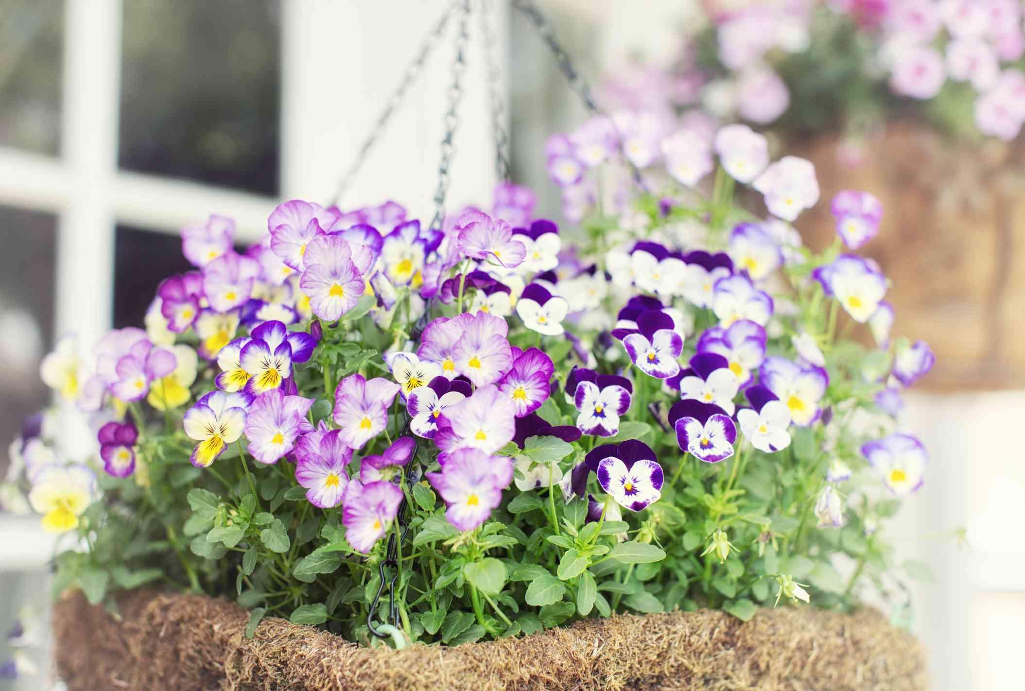 Hanging basket full of petunias.