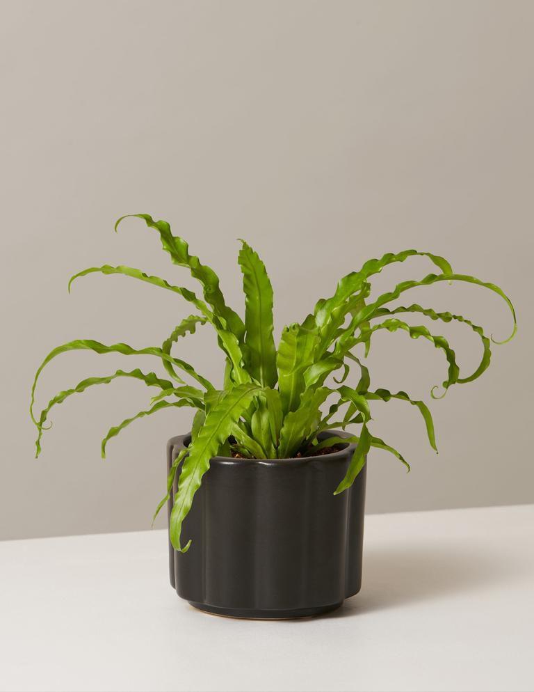 bird's nest fern in a scalloped black pot