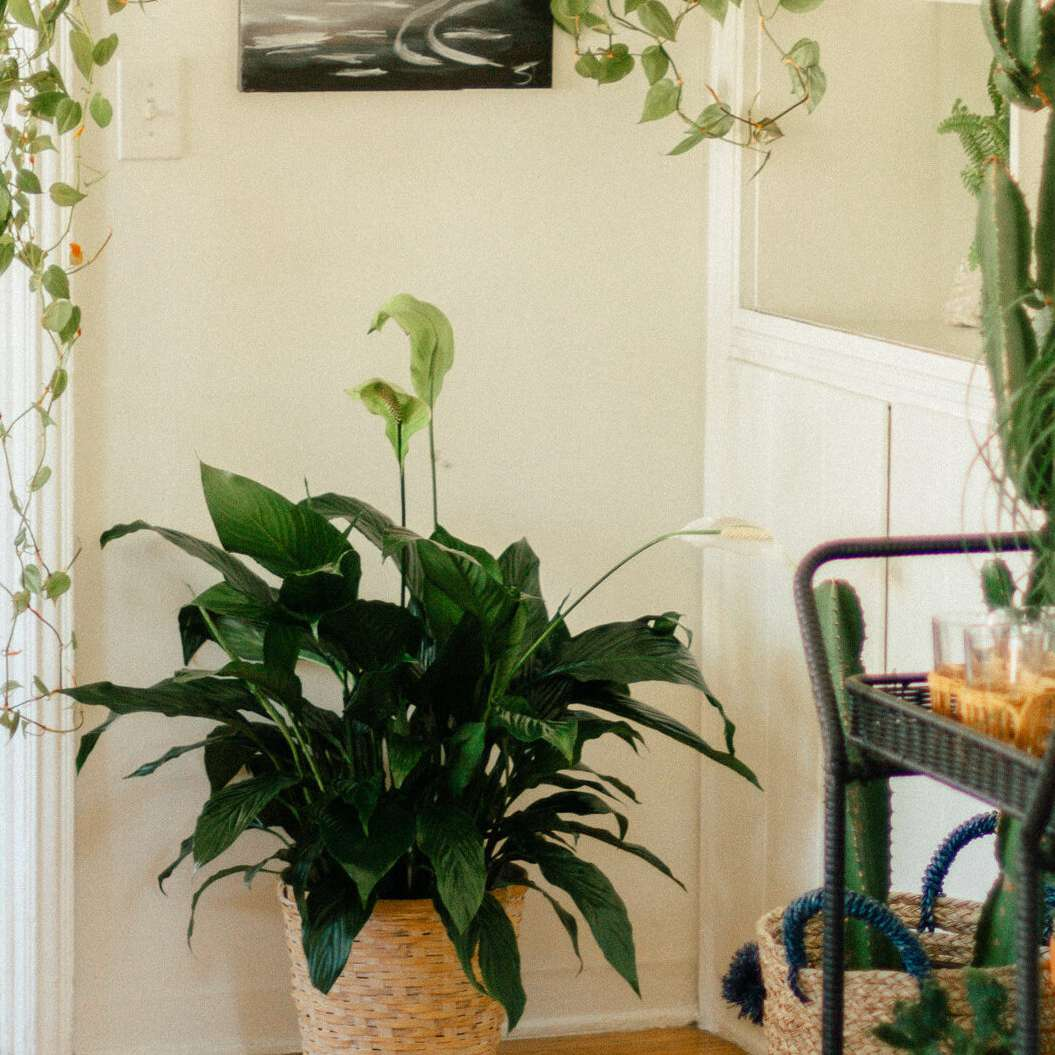 peace lily cheap plants