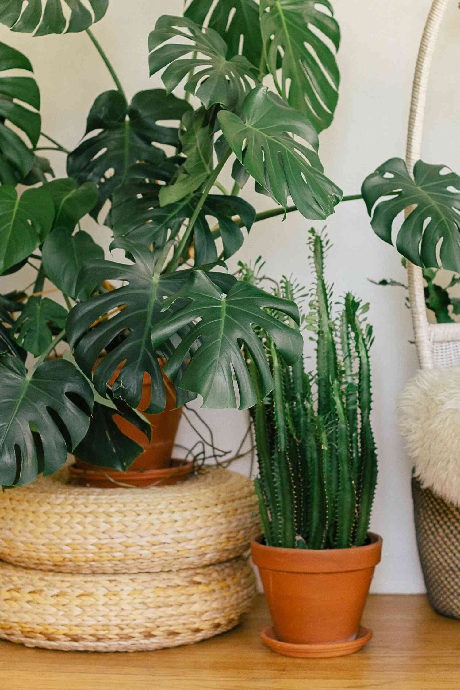 Up close of a Monstera plant next to an African milk plant.