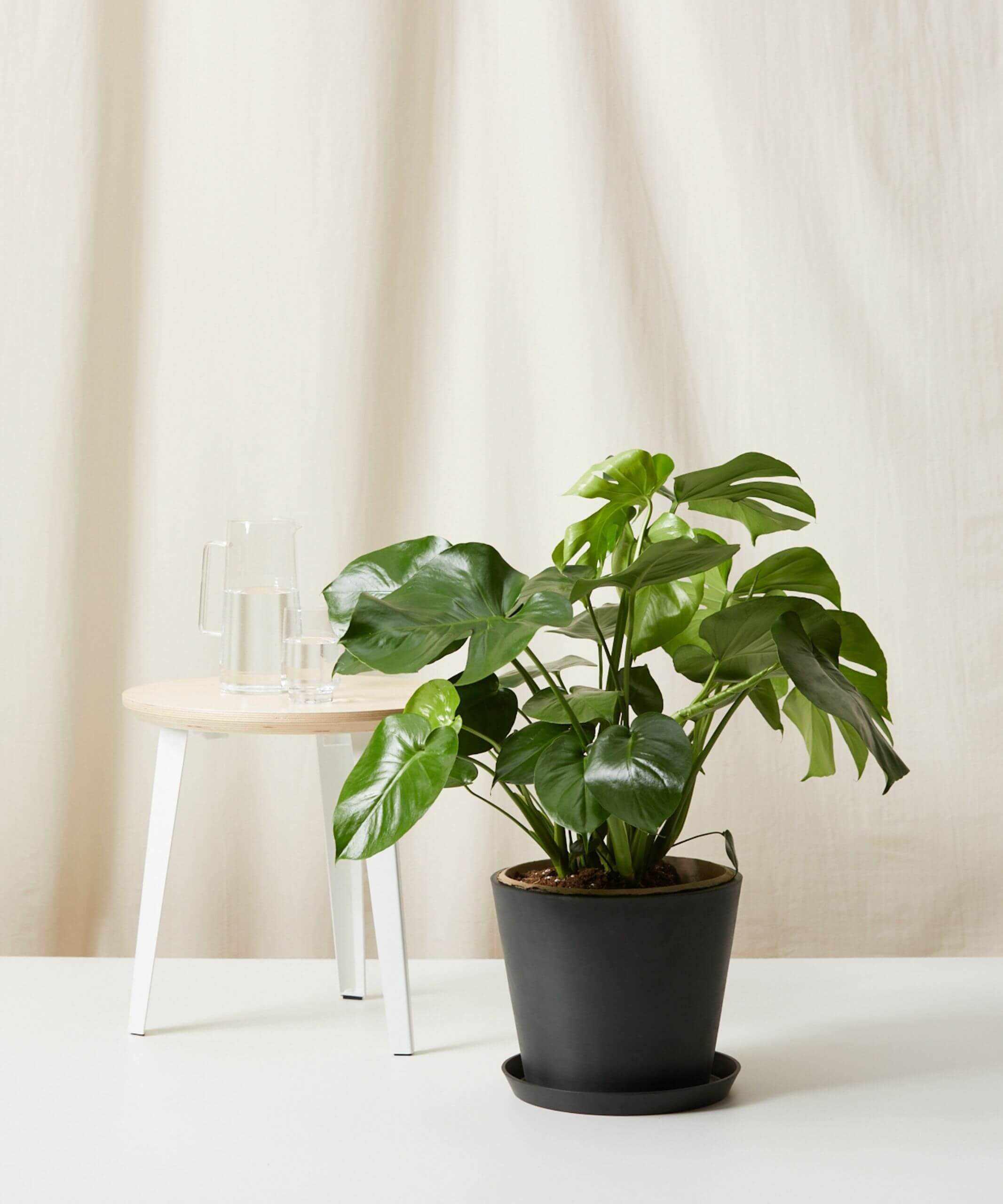 Monstera plant in black pot
