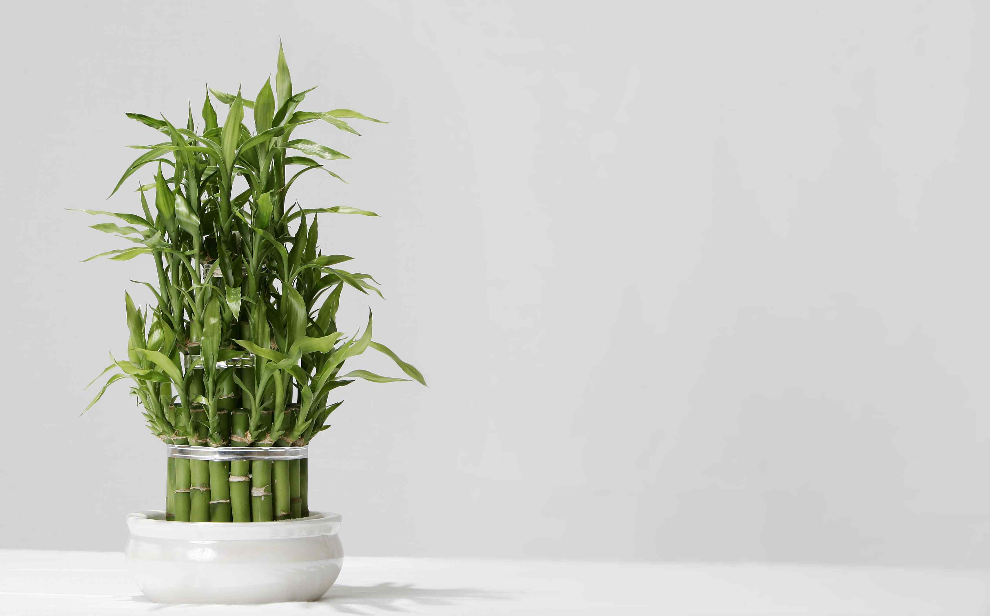 Lucky bamboo plant growing in pot