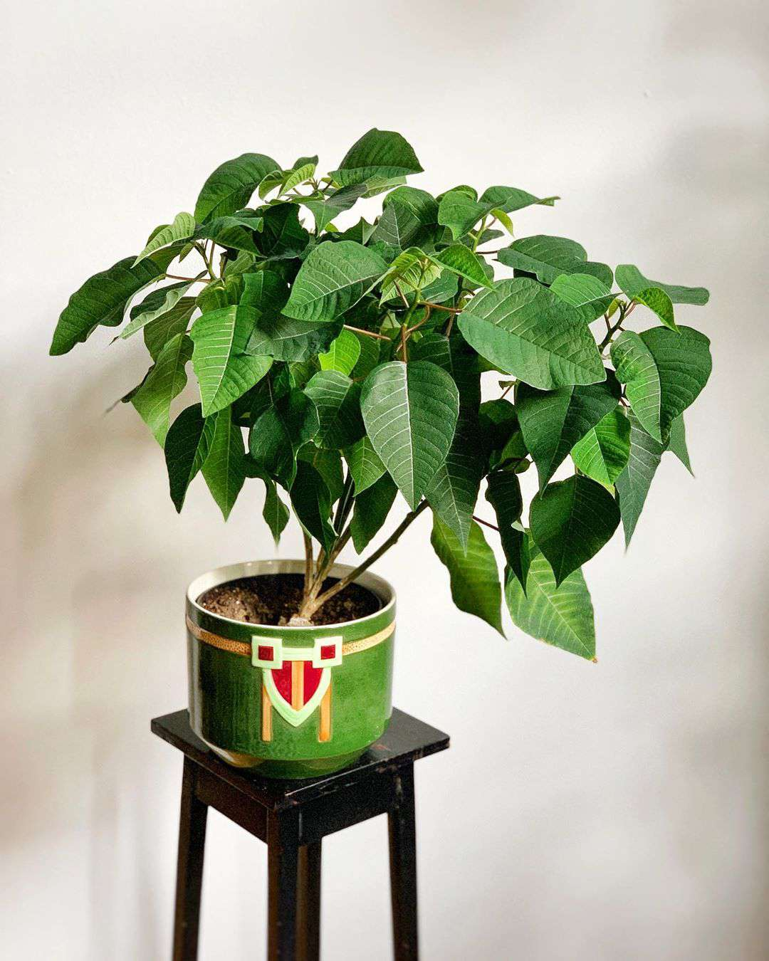 Potted poinsettia with green leaves