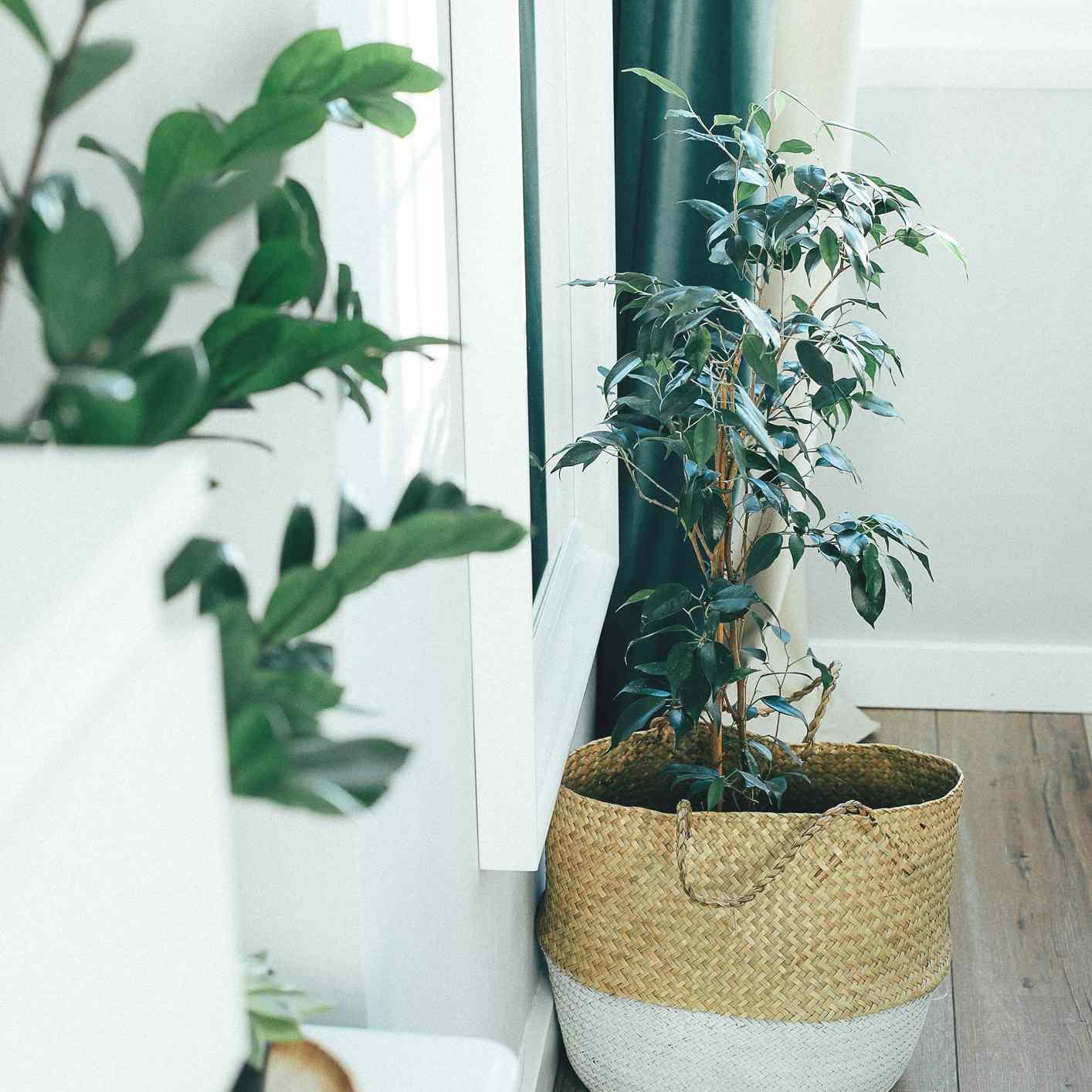 weeping fig in basket on wood floor