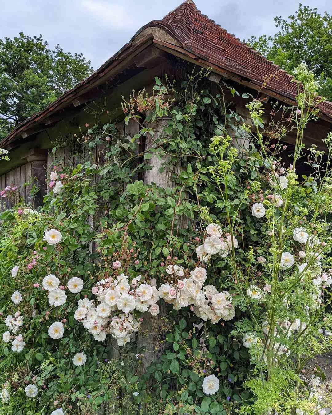 Wild rose garden with white roses.