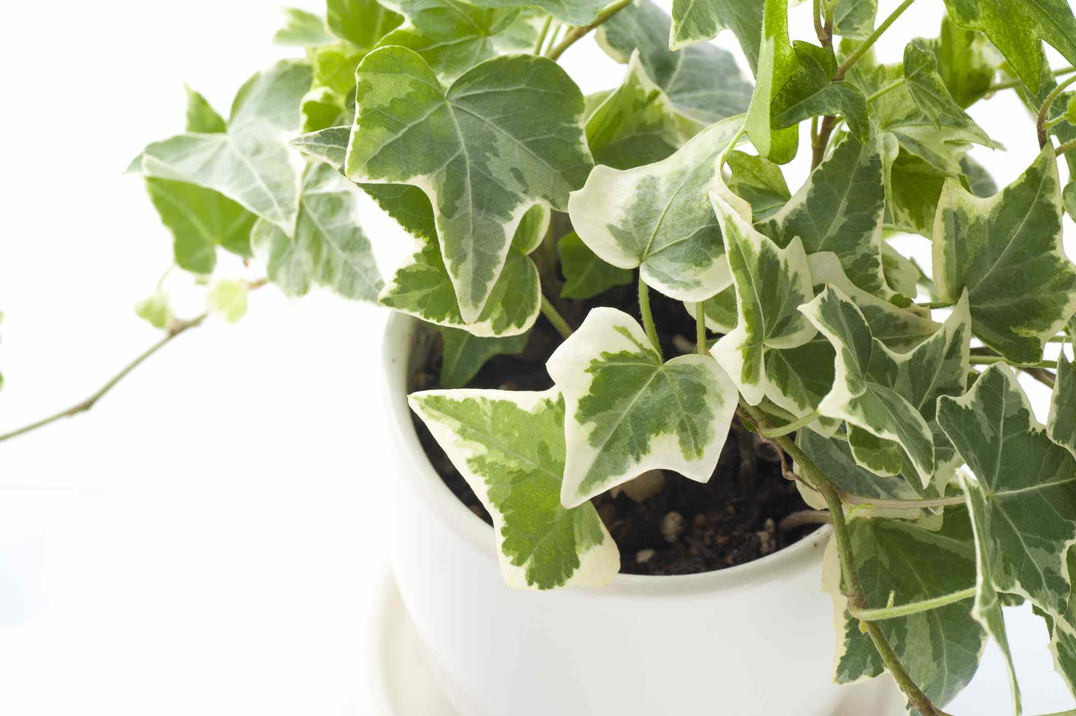 green and white english ivy plant in white pot on white background