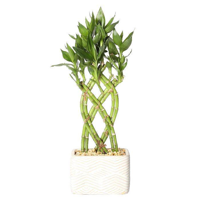 Costa Farms Bamboo Live Indoor Plant In Ceramic Planter 46