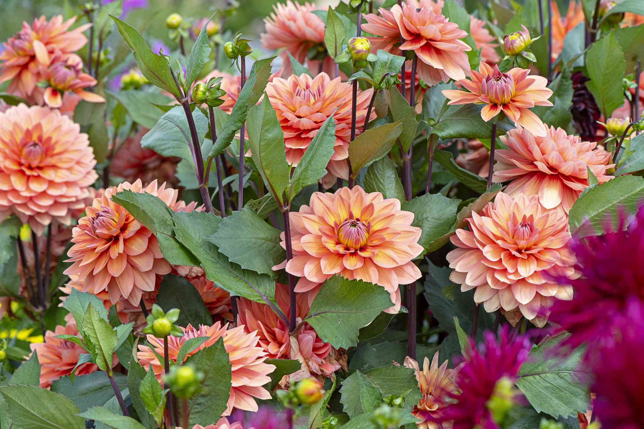 orange and pink dahlia flowers with green leaves and dark red stems growing in garden