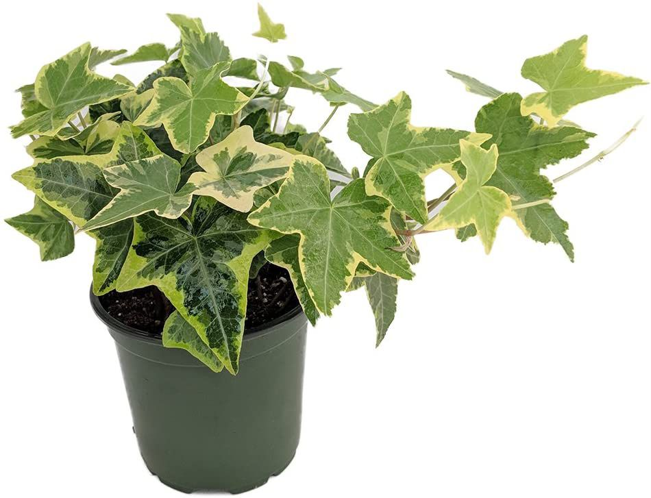 Variegated English ivy in grower's pot