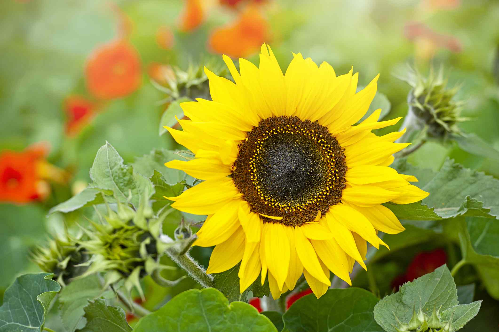 closeup of yellow and brown sunflower with green and orange plants in background