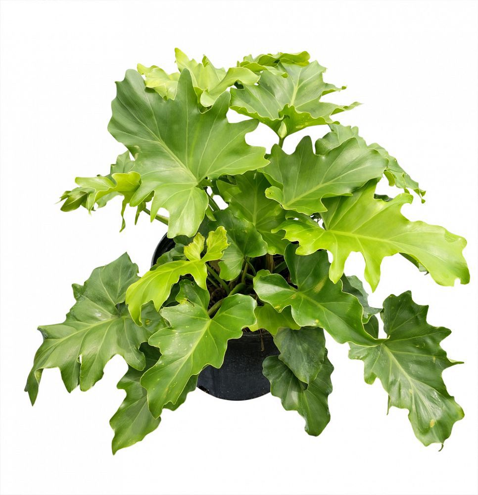 Split-leaf philodendron in grower's pot