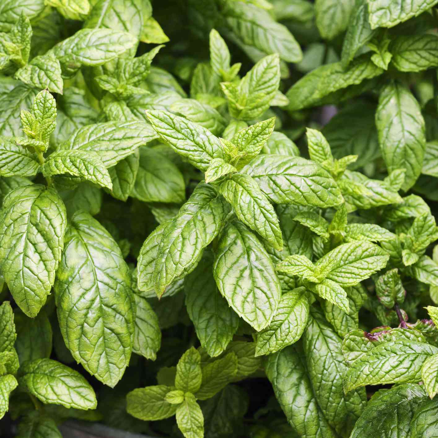 close-up of peppermint plant growing in metal garden pot